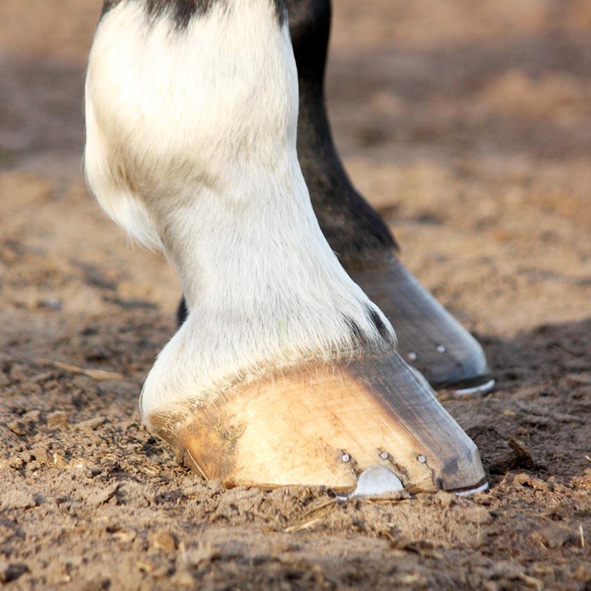 Abcès, bleimes & seimes chez le cheval
