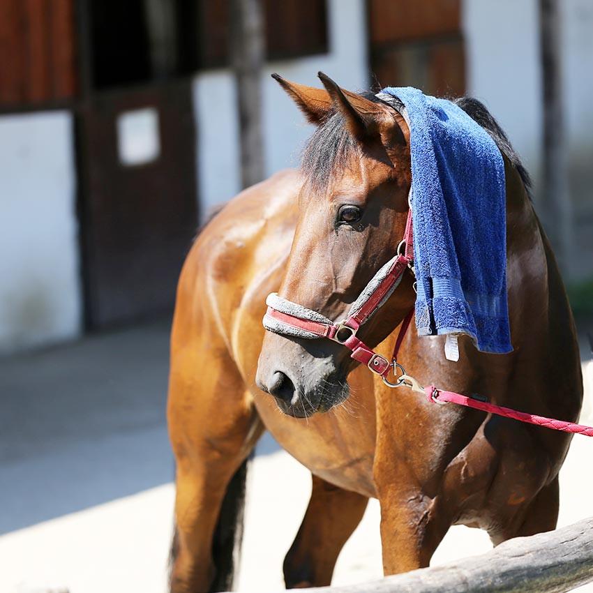 Coup de chaleur chez le cheval : comment le protéger