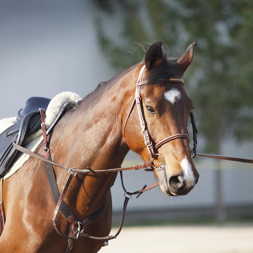 Travail musculaire du cheval : les bases pour comprendre