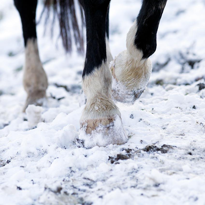 Préserver la fourchette du cheval en période hivernale : les bons gestes